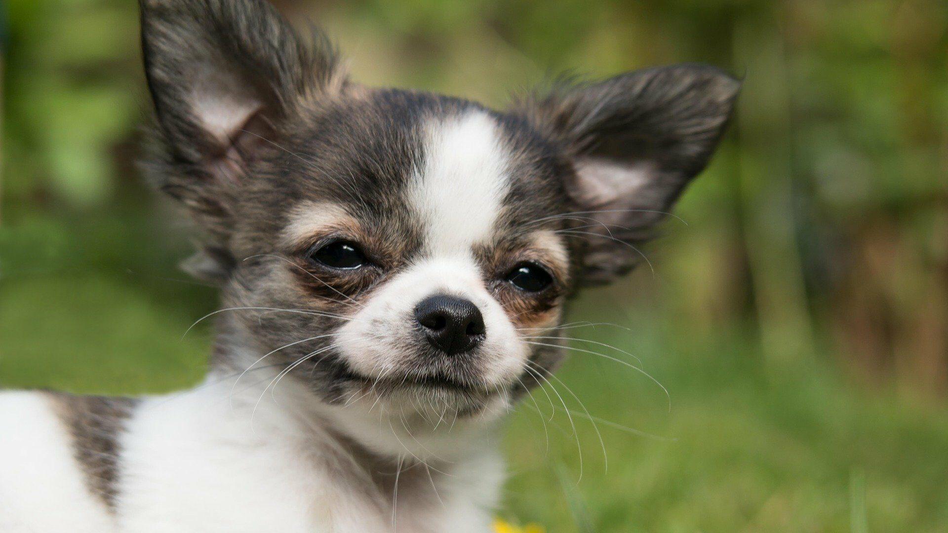Chihuahua koira